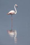 Greater flamingo KPSLR-3456