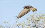 Black-chested snake eagle PSLR-3686