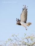 black-chested snake eagle PSLR-3687.