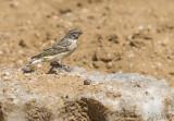 Black-throated canary PSLR-3602