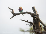 Lilac-breasted roller PSLRT-3835
