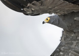African harrier hawk KPSLRT-4226