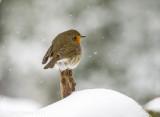 European robin - Roodborst PSLRT 6358