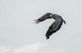 African harrier hawk  KPSLR-4215