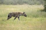Spotted hyena PSLRT-4176