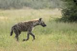 Spotted hyena PSLRT-4177