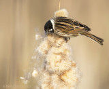 Emberiza schoeniclus - Reed Bunting - Rietgors