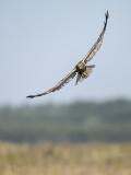 Circus aeruginosus - Western marsh harrier - Bruine kiekendief