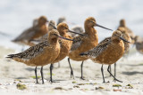 Limosa lapponica - Bar-tailed Godwit - Rosse grutto