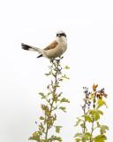 Lanius collurio - Red-backed Shrike - Grauwe klauwier