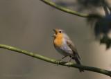European robin - Roodborst PSLRT-8536