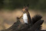 Red Squirrel - Eekhoorn  PSLRT-7727