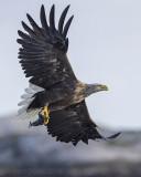 Haliaeetus albicilla - White-tailed eagle - Zeearend