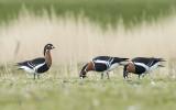 Branta ruficollis - red-breasted goose - roodhalsgans