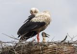 Ciconia ciconia - White stork - Ooievaar