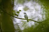 Ficedula hypoleuca - European pied flycatcher - Bonte vliegenvanger