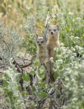 Yellow mongoose PSLRT-4042