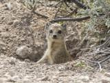 Yellow mongoose  LR-4038