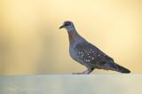 Speckled pigeon PSLR-3558