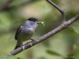 Sylvia atricapilla - Eurasian Blackcap - Zwartkop