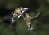 Hawfinch PSLRT 2853