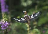 Hawfinch KPSLRT 2819