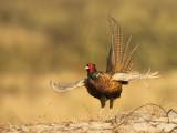 Phasianus colchicus - Common pheasant - Fazant