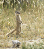 Yellow mongoose PSLRT-4052