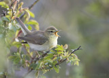 Phylloscopus trochilus - Willow Warbler - Fitis