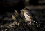 Coccothraustes coccothraustes - Hawfinch - Appelvink