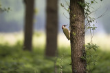 European green woodpecker - Groene specht KPSLRT-1795.jpg