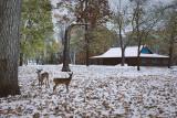 Deer in Pinewoods