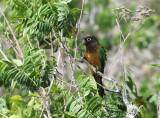 Caatinga Parakeet