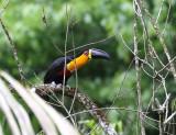 Channel-billed Toucan