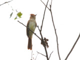 Ash-throated Casiornis