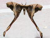 Copiopteryx southonnaxi