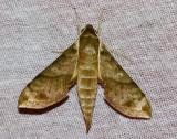 Xylophanes pistacina