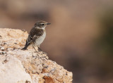 Canary Islands Stonechat