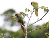 Ochre-marked Parakeet