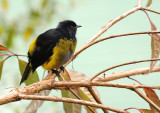 Black-and-yellow Phainoptila