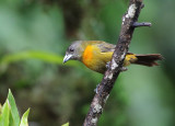 Cherrie's Tanager