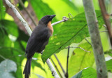 Black-cheeked Ant Tanager