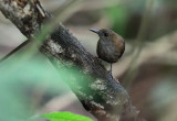 Southern Nightingale-Wren