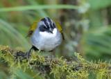 Grey-browed Brushfinch