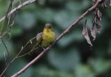 Mountain Yellow Warbler