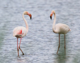 Greater Flamingo (adult)