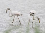 Greater Flamingo (2cy)