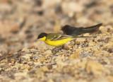 Western Yellow Wagtail (feldegg)