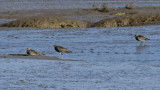 Curlews on the mud flats