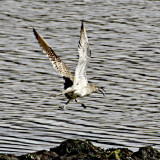 Whimbrel taking off